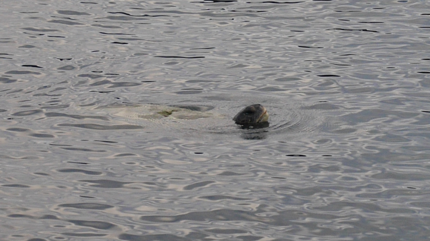 skoldpadda-vattnet